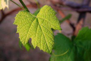 Pest control_vineyard maintenance_vine leaf_Hans Loder